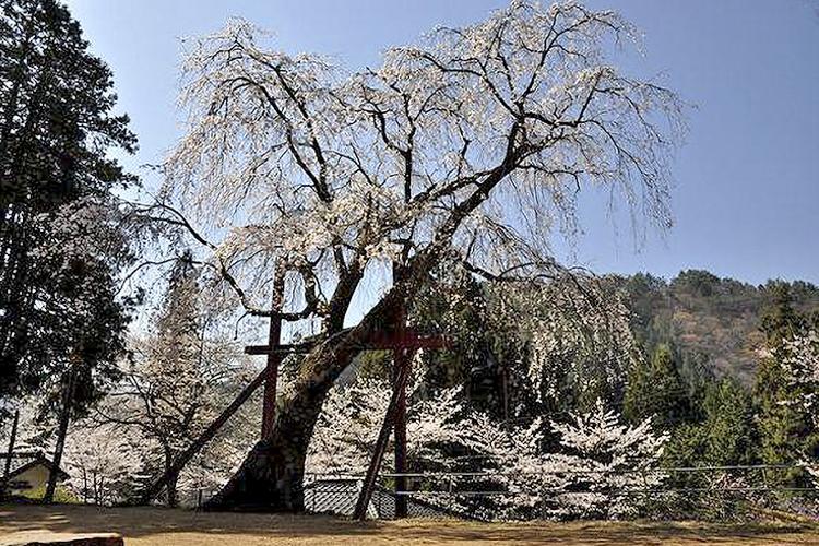和合林松寺のしだれ桜(阿南町)