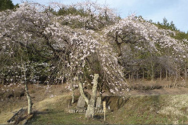 三太夫の桜(売木村)