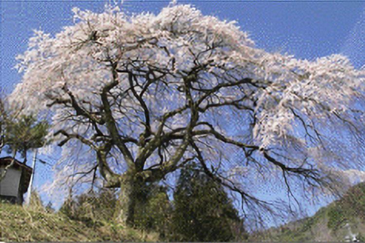 与助の桜(売木村)