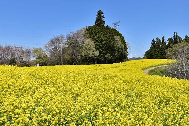 平石農場菜の花畑(阿南町)