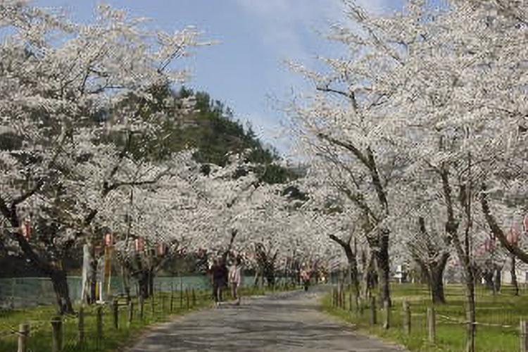 松島桜公園(天龍村)