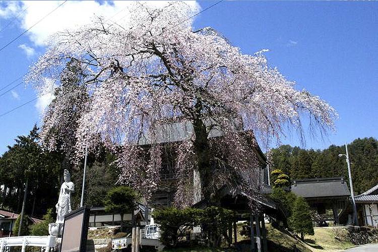 瑞光院のしだれ桜(阿南町)