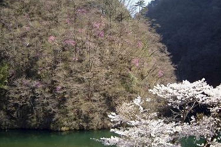 巾川のミツバツツジ(阿南町)