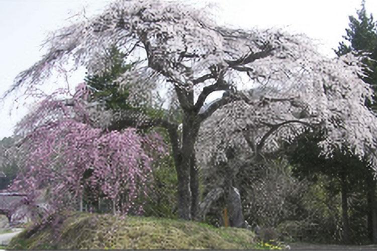 大入りのシダレ桜(売木村)