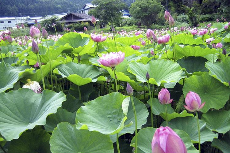 向原蓮の池(売木村)