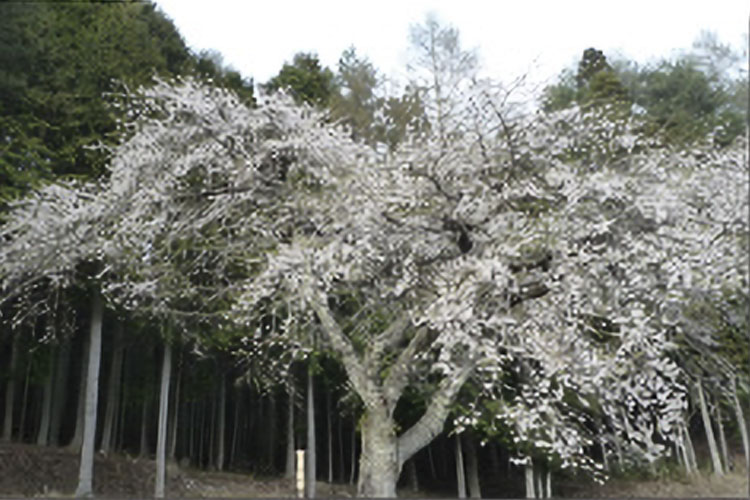 正平桜(売木村)